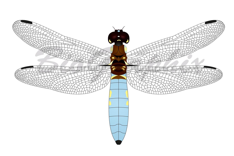 01_Animals_Dragonfly