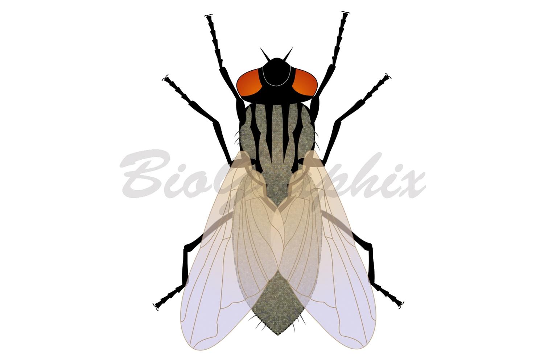 09_Animals_Housefly