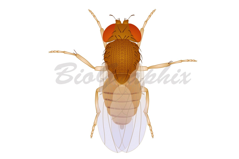 10_Animals_Drosophila