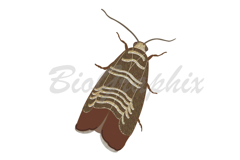 12_Animals_Codling_Moth