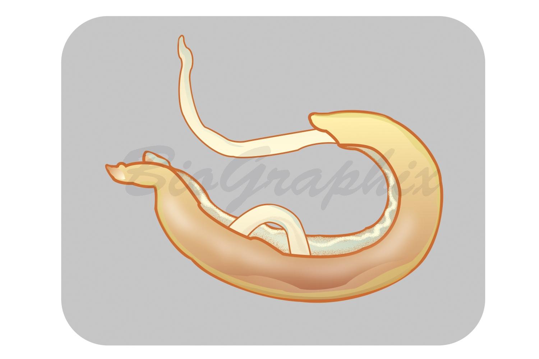 36_Animals_Schistosoma