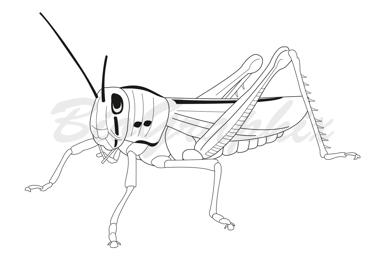 23_Animals_Grasshopper_BW