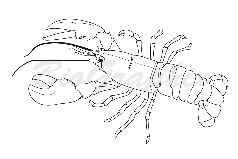 24_Animals_Lobster_BW
