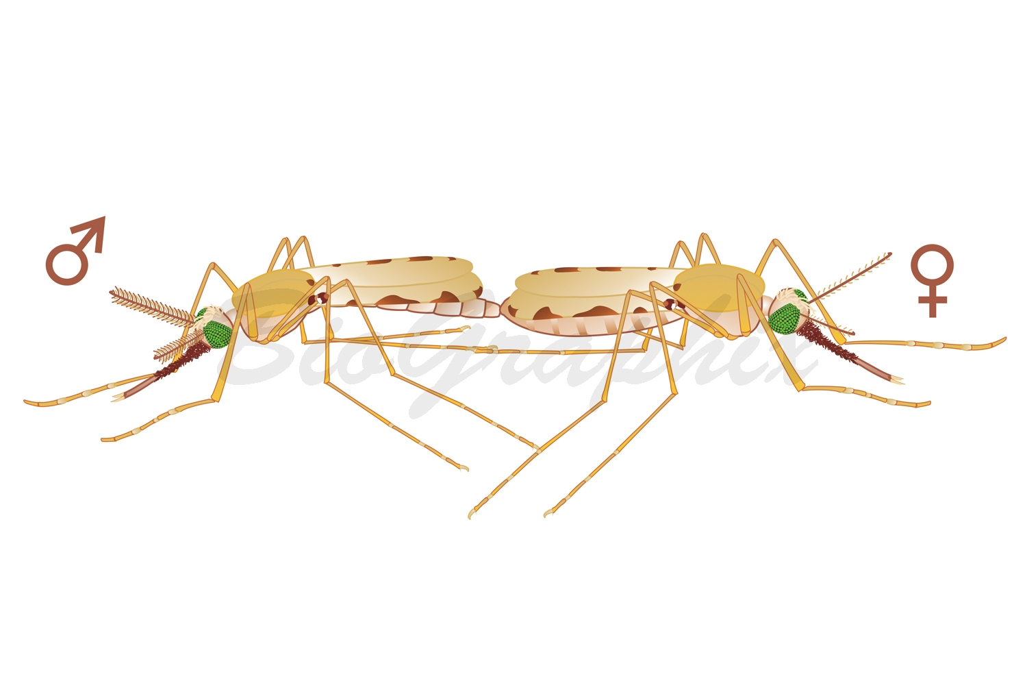 30_Animals_Anopheles_Mating