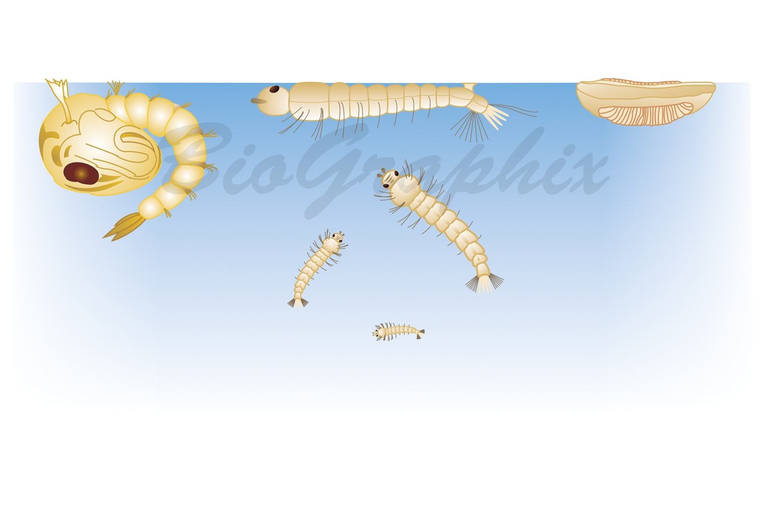 31_Animals_Anopheles_Stages