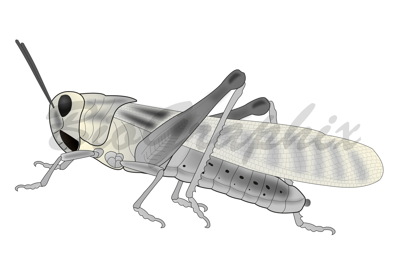 37_Animals Locusta migratoria