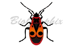 05_Animals_Pyrrhocoris