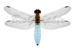01_Animals_Dragonfly
