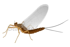 07_Animals_Mayfly