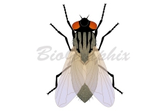 09_Animals_Housefly