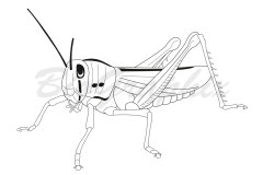 23_Animals_Grasshopper_BW