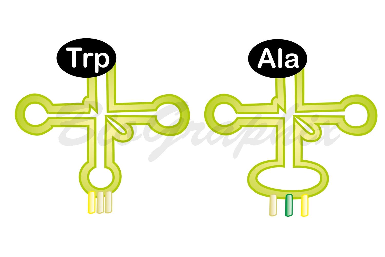 01 Molecules tRNA