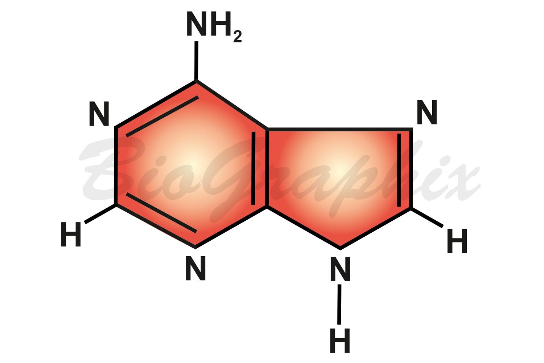 02 Molecules Adenine